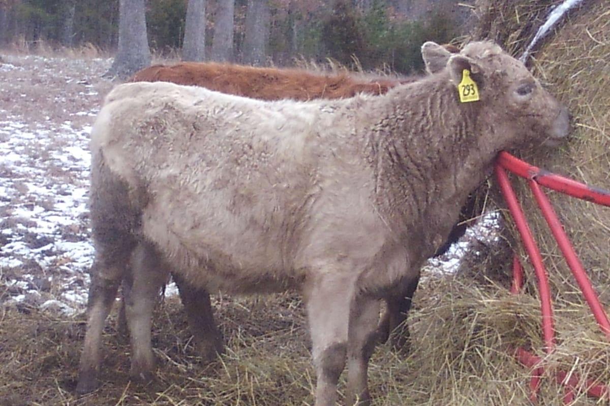#293 Fullbood Heifer