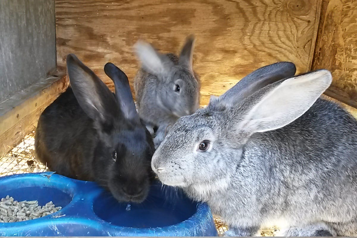 Blue flemish Giants