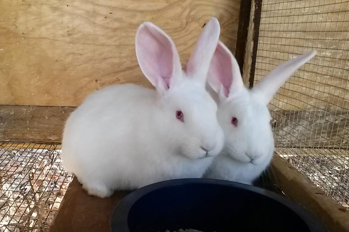 White Flemish Giants