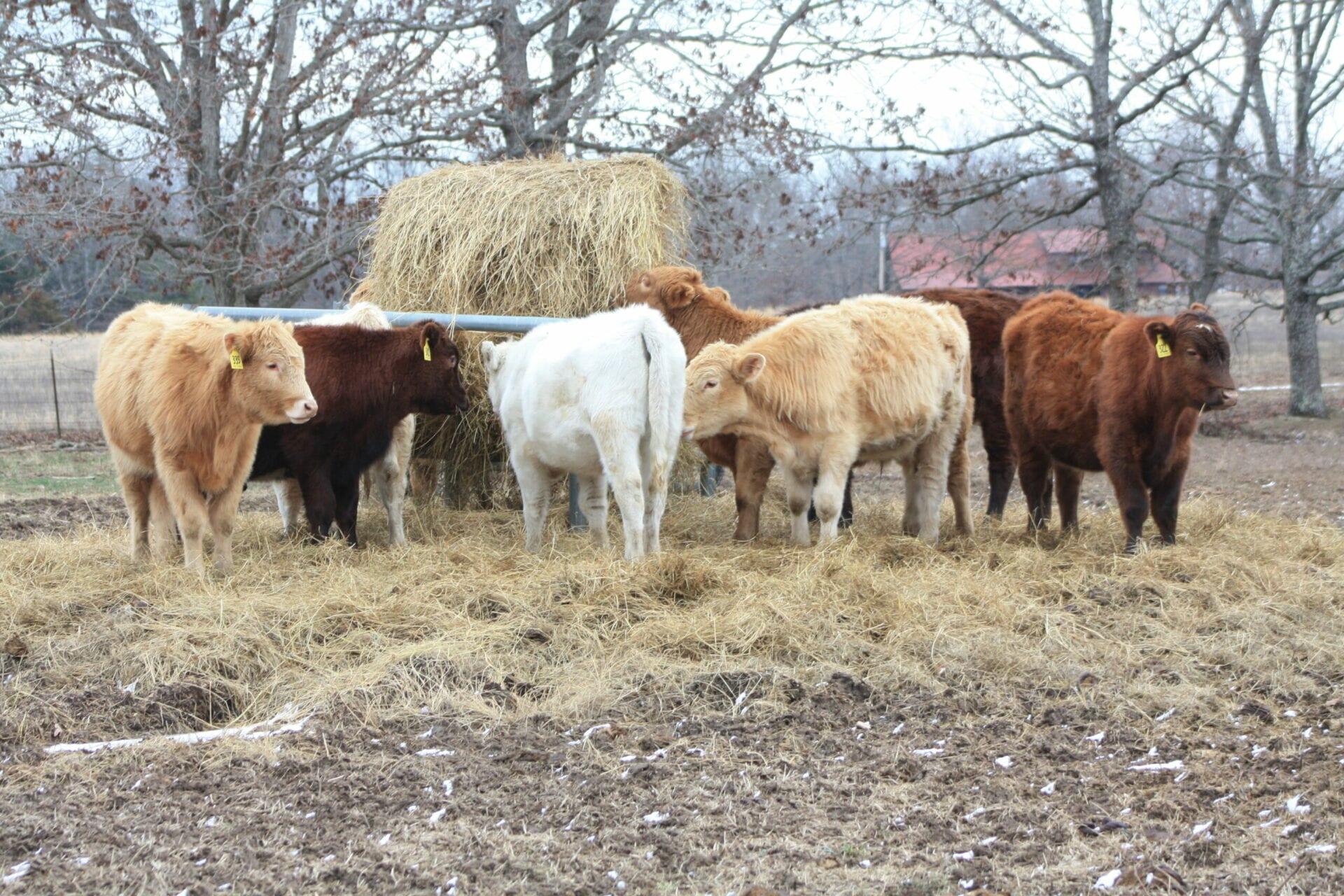 Purebred Heifers