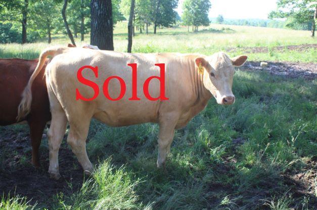 #362a Fullblood Heifer A Sold